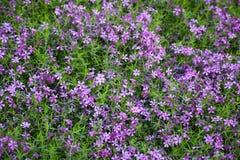 Blooming pink phloxes (Phlox subulata) Royalty Free Stock Images