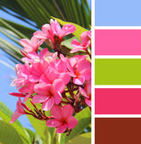 Blooming pink plumeria. color  palette swatches. Stock Photos