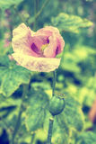 Blooming pink poppy flower Royalty Free Stock Image
