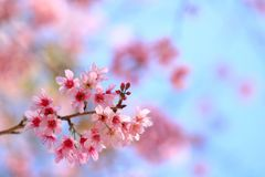 Blooming pink Prunus cerasoides flowers on blue sky at Khao Kho, Phetchabun, Thailand. Like blooming pink sakura flowers. Have copy space for put text royalty free stock photography