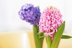 Blooming pink and purple hyacinth flowers royalty free stock image