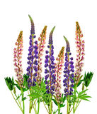 Blooming Pink and purple lupine / isolated / Stock Photography