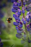 Blooming pink and purple lupines in natural habitat Royalty Free Stock Image