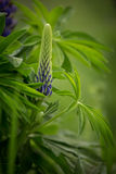 Blooming pink and purple lupines in natural habitat Stock Photos