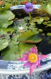 Blooming pink and purple waterlily in blue and white china basin. In the garden stock photo