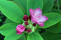 Blooming Pink Rhododendron Royalty Free Stock Photography