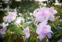 Blooming Pink Rhododendron (Azalea) Royalty Free Stock Photos