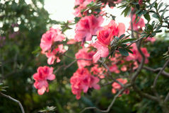 Blooming Pink Rhododendron (Azalea) Royalty Free Stock Images