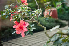 Blooming Pink Rhododendron (Azalea) Royalty Free Stock Photography
