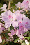 Blooming Pink Rhododendron (Azalea) Royalty Free Stock Image