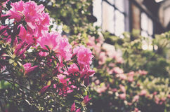 Blooming pink rhododendron in botanical garden terrace Stock Photo
