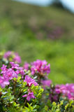 Blooming pink rhododendron stock images