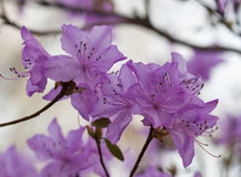 Blooming pink rhododendron in the spring botanical garden closeup Royalty Free Stock Photo