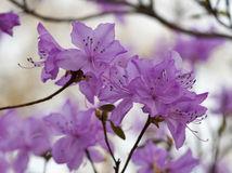 Blooming pink rhododendron in the spring botanical garden closeup Royalty Free Stock Image