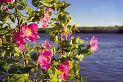 Blooming pink rose on the background of the river. Stock Photo
