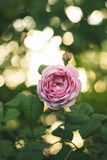 Blooming pink rose on branches in the garden. Soft focus, film effect, author processing. Blooming pink ross on branches in the garden. Soft focus, film effect royalty free stock photography