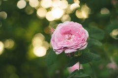 Blooming pink rose on branches in the garden. Soft focus, film effect, author processing. Blooming pink ross on branches in the garden. Soft focus, film effect royalty free stock photos