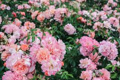 Pink rose bush in garden. Blooming pink rose bush in garden Royalty Free Stock Photos