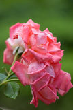 Blooming pink rose close-up Stock Photo