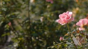 Blooming pink rose, close up stock footage