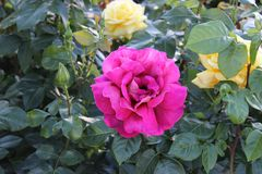 Blooming pink rose bud in the garden royalty free stock image