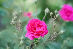 Blooming pink rose flowers. Springtime blossoming garden floral background. Selective focus, shallow depth of field Stock Images