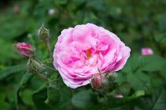 Blooming pink rose Stock Photos