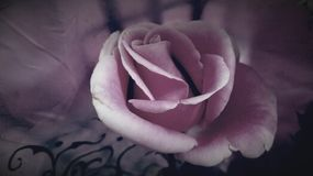 Blooming pink rose Royalty Free Stock Photos