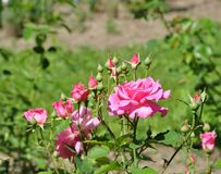 Blooming pink rose with rosebuds royalty free stock photos