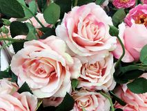 Blooming Pink Roses. Flowers Background Royalty Free Stock Image