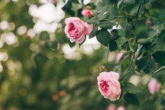 Blooming pink roses on branches in the garden. Soft focus, film effect, author processing. Blooming pink roses on branches in the garden. Soft focus, film stock photography