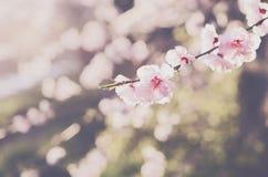 Blooming pink sakura flower on soft spring background Royalty Free Stock Photos