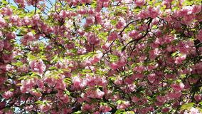 Blooming pink sakura tree branch. Cherry sakura spring flowers. Beautiful nature scene with blooming pink sakura tree branch. Japanese garden, spring sunny day stock video