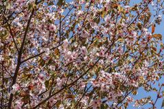 Blooming pink sakura tree crown in spring.  Pink flowers of blossoming sakura royalty free stock photography
