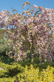Blooming pink Sakura tree in the garden Royalty Free Stock Photo