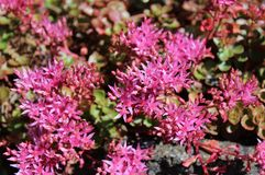 Blooming pink sedum flowers in summer sunshine. Star-shaped deep pink Sedum flowers in full bloom in mid summer Royalty Free Stock Photo