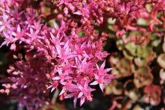 Blooming pink sedum flowers in summer sunshine. Star-shaped deep pink Sedum flowers in full bloom in mid summer Stock Photo