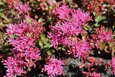 Blooming pink sedum flowers in summer sunshine. Star- shaped deep pink Sedum flowers in full bloom in mid summer Stock Photos
