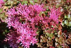 Blooming pink sedum flowers in summer sunshine Royalty Free Stock Photography