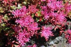Blooming pink sedum flowers in summer sunshine. Star-shaped deep pink Sedum flowers in full bloom in mid summer Stock Photos