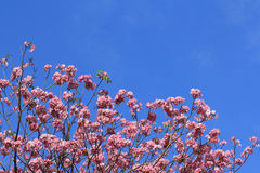 Blooming pink Tabebuia Rosea Stock Photography