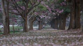 Bฺlooming Pink Trumpet (Tabebuia rosea) tree stock footage