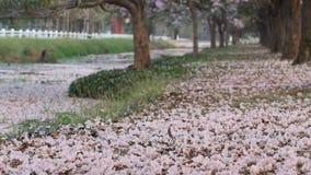 Bฺlooming Pink Trumpet (Tabebuia rosea) tree stock video