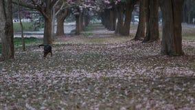 Blooming Pink Trumpet (Tabebuia rosea) tree stock video