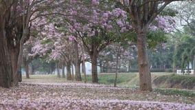 Blooming Pink Trumpet (Tabebuia rosea) tree stock footage