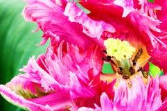 Blooming pink tulip Stock Image