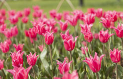 Blooming pink tulip Royalty Free Stock Images