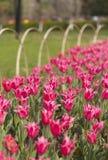 Blooming pink tulip Stock Photos