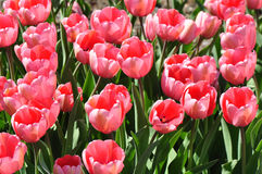 Blooming Pink Tulips Stock Image