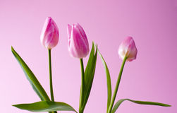 Blooming pink tulips Stock Images